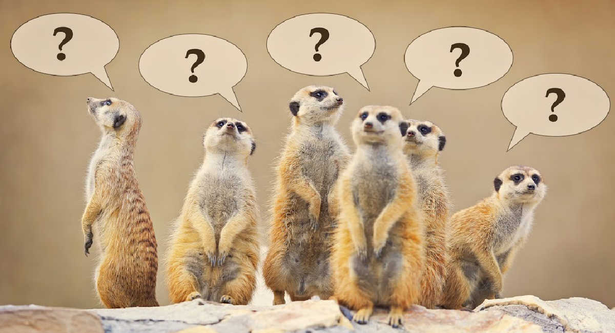 Group of meerkats with questions marks